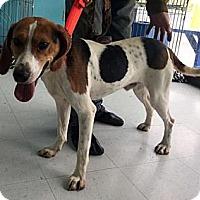 Adopt A Pet :: Franklin-URGENT - Providence, RI
