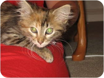 Domestic Mediumhair Kitten for adoption in Wakinsville, Georgia - Skye