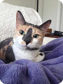 Calico Cat for adoption in Naples, Florida - Aralyn