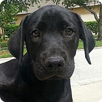Adopt A Pet :: Tayla#2M (Ziggy) - Orlando, FL