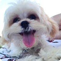 Adopt A Pet :: *Biscuit - PENDING - Westport, CT