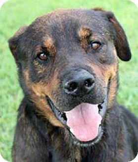 San Antonio Tx Rottweiler Mix Meet Marcel A Dog For