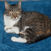 Domestic Shorthair Cat for adoption in Albemarle, North Carolina - Miss Marple