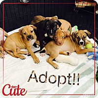 Adopt A Pet :: Puppies - Jupiter, FL