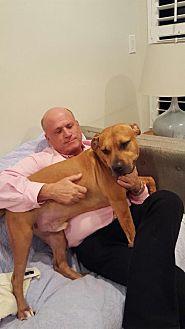 American Bulldog Dog for adoption in Boca Raton, Florida - TOMMY BOY HANDSOME