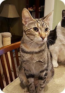 Domestic Shorthair Kitten for adoption in Berkeley Hts, New Jersey - Marion