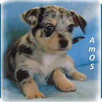 Adopt A Pet :: Amos-Adorable and Precious - Marlborough, MA