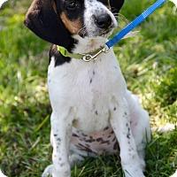 Adopt A Pet :: Portia - New Oxford, PA