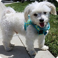 Adopt A Pet :: Doodle - Fountain Valley, CA