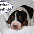 Adopt A Pet :: Penelope's Harrison