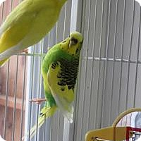 Parakeet - Other for adoption in Quilcene, Washington - Lover Boy & Spot