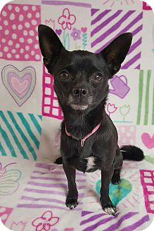 Chihuahua Mix Dog for adoption in Yucaipa, California - Simone