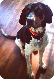 German Shorthaired Pointer Dog for adoption in Mount Airy, North Carolina - Everett