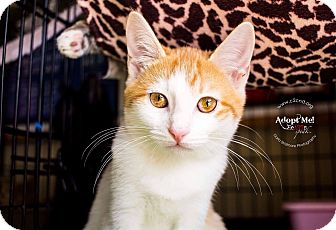 Domestic Shorthair Kitten for adoption in Mooresville, North Carolina - A..  Schap