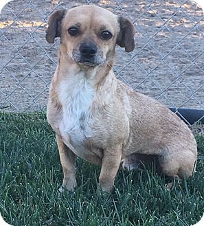 Beagle/Dachshund Mix Dog for adoption in Orange County, California - Papi