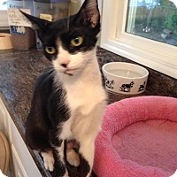 Oriental Cat for adoption in Hamilton, New Jersey - LILY