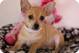 Chihuahua/Miniature Pinscher Mix Puppy for adoption in Phoenix, Arizona - Palomo