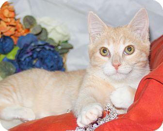 Domestic Shorthair Kitten for adoption in Richmond, Virginia - Sunshine