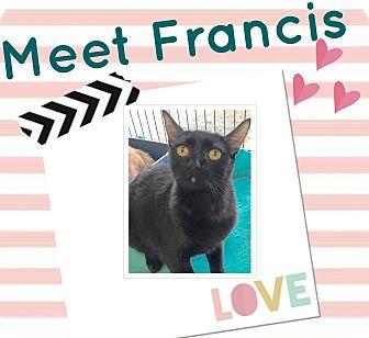 Domestic Shorthair Kitten for adoption in Orange, California - Francis
