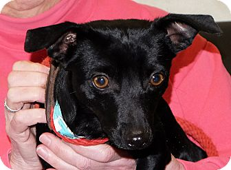 Miniature Pinscher Mix Dog for adoption in Spokane, Washington - Peter