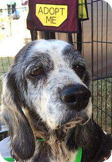 Cocker Spaniel/Beagle Mix Dog for adoption in New River, Arizona - Amelia