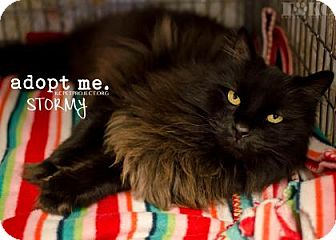 Domestic Longhair Cat for adoption in Kansas City, Missouri - Stormy
