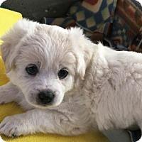 Adopt A Pet :: 'MARSHMALLOW' - Agoura Hills, CA
