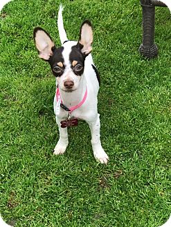 Fox Terrier (Smooth) Mix Puppy for adoption in La Verne, California - Lily