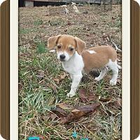 Adopt A Pet :: Banjo (DC) - Allentown, PA