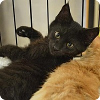 Adopt A Pet :: C27 Litter-Coal-ADOPTION PENDING - Livonia, MI