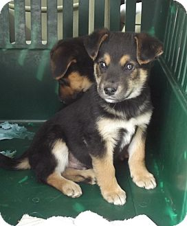 German Shepherd Dog Mix Puppy for adoption in Morgantown, West Virginia - Bert