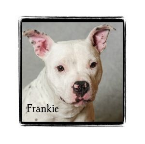 American Pit Bull Terrier Mix Puppy for adoption in Warren, Pennsylvania - Frankie