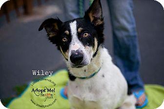 Border Collie Mix Dog for adoption in Burbank, California - Wiley