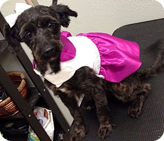 Poodle (Miniature) Dog for adoption in South Gate, California - Mimi