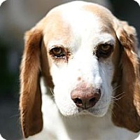 Adopt A Pet :: Bailey - loves everyone! - Los Angeles, CA