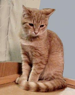 Domestic Shorthair Cat for adoption in Holly Springs, Mississippi - Butterscotch
