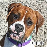 Adopt A Pet :: Duque - Encino, CA