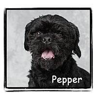 Adopt A Pet :: Pepper - Warren, PA