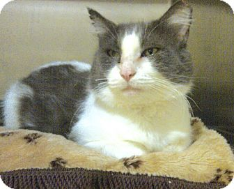 Domestic Mediumhair Cat for adoption in Middletown, Connecticut - Gideon