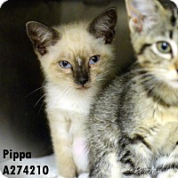 Adopt A Pet :: PIPPA - Conroe, TX