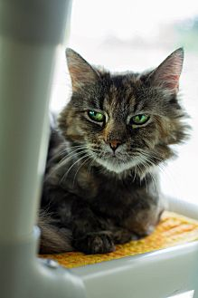 Domestic Longhair Cat for adoption in Mohawk, New York - Cancun