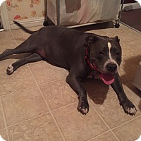 Staffordshire Bull Terrier Mix Dog for adoption in Beverly Hills, California - Sasha