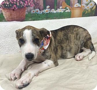 Catahoula Leopard Dog Mix Puppy for adoption in Fort Pierce, Florida - LEXI