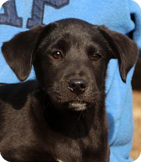 Labrador Retriever/Boxer Mix Puppy for adoption in Glastonbury, Connecticut - Eclipse