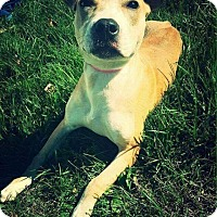 Pit Bull Terrier Mix Dog for adoption in Dayton, Ohio - Cinnamon