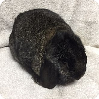 Mini Lop Mix for adoption in Wheaton, Illinois - Gary