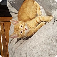 Manx Kitten for adoption in South Bend, Indiana - Jake
