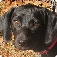 Adopt A Pet :: Amie - Harrisonburg, VA