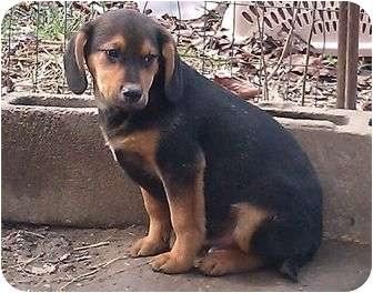 Labrador Retriever/Pointer Mix Puppy for adoption in Harrisonburg, Virginia - Huey