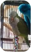 Parakeet - Quaker for adoption in Mantua, Ohio - SWEET PEA